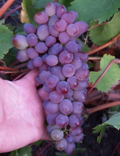 Вытянутая гроздь столового винограда Кишмиш Запорожский с ягодами сине-фиолетового окраса