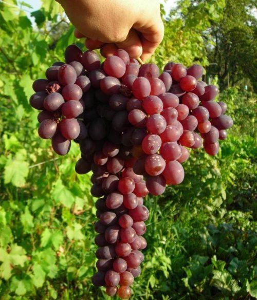 Виноградная гроздь с двумя крыльями гибридной формы Запорожский Кишмиш
