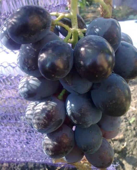 Кисть винограда сорта Фуршетный с блестящими плодами насыщенно-синего цвета