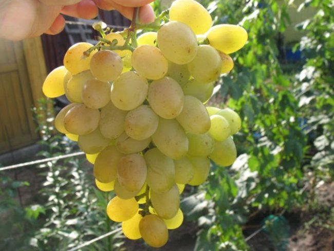 Красивая гроздь винограда с янтарно-белыми плодами в руке садовода