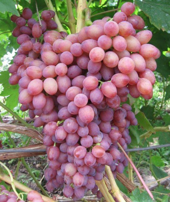 Крупная гроздь винограда бессемянного сорта Лучистый с вытянутыми плодами розоватого окраса