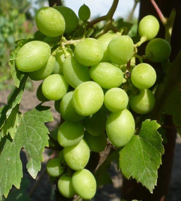 Кисть столового винограда среднего размера с зелеными ягодами