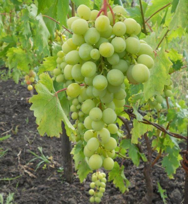 Зеленая кисть столового винограда гибридного сорта Воевода