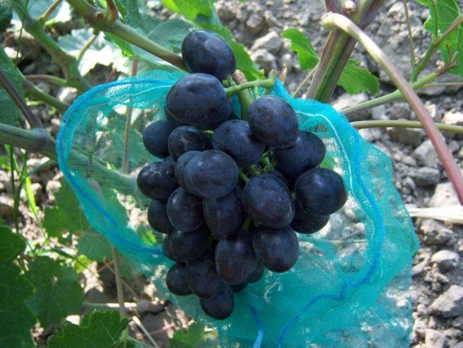 Гроздь винограда среднего размера и сетчатый мешочек для защиты от насекомых