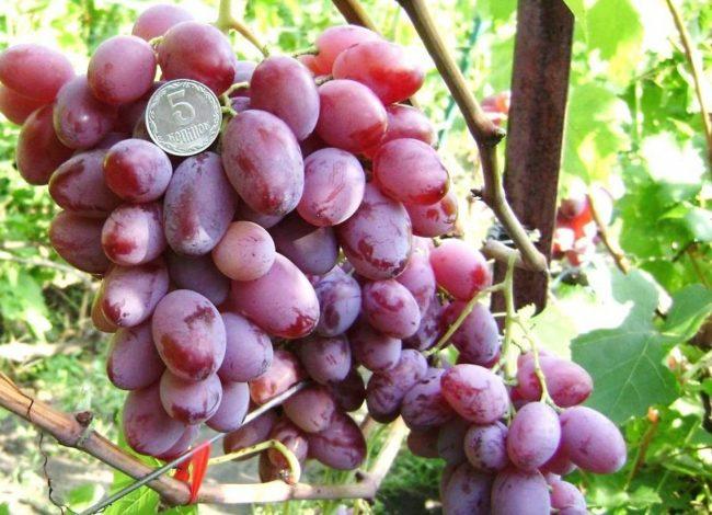 Крупная гроздь гибридного винограда Виктор на ветке и монетка среди плодов
