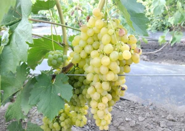 Крупная ветвистая гроздь винограда с плодами желто-зеленого окраса