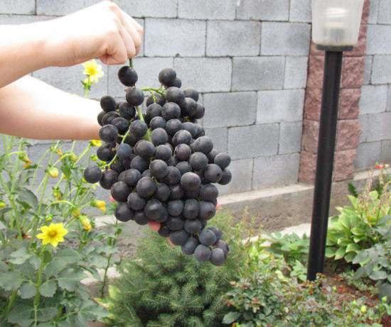 Объемистая кисть винограда сорта Бычий Глаз в руке садовода и стенка из блоков на заднем плане