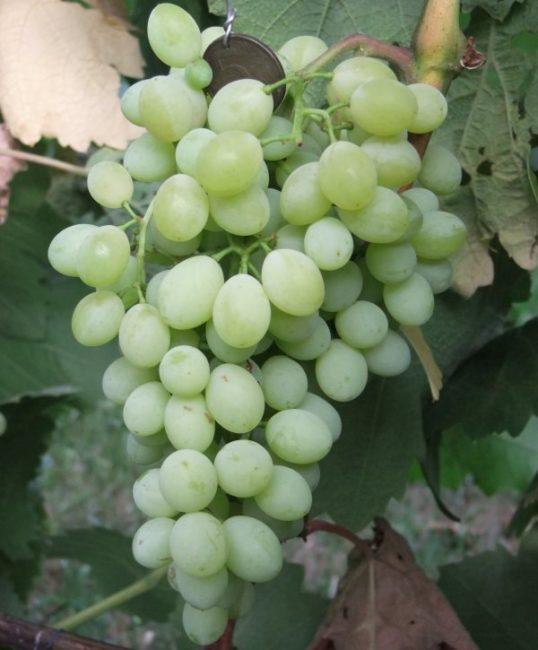 Кисть столового винограда гибридной культуры Коктейль с плодами светло-зеленого цвета