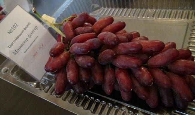 Спелая гроздь винограда с ягодами в форме дамских пальчиков красно-фиолетовой окраски