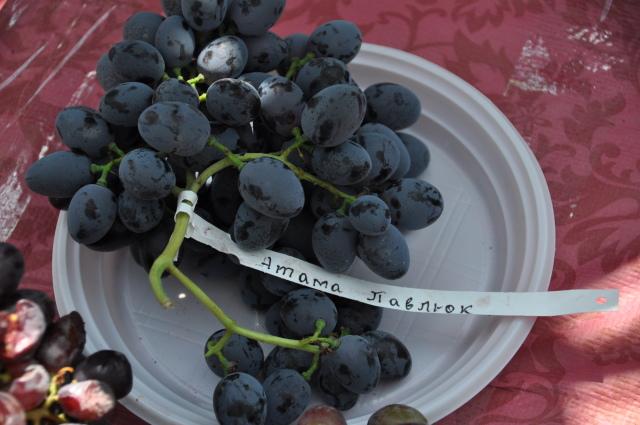 Крылатая гроздь винограда Атаман Павлюк к биркой на пластиковой тарелке