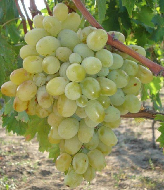 Крупная гроздь винограда с янтарными ягодами на одеревеневшей ветке