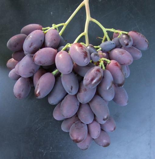 Кисть столового винограда с крупными ягодами темно-сиреневого цвета