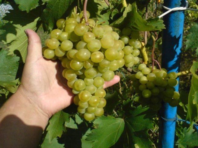 Крупная гроздь гибридного сорта винограда Дружба со спелыми плодами желто-зеленого цвета