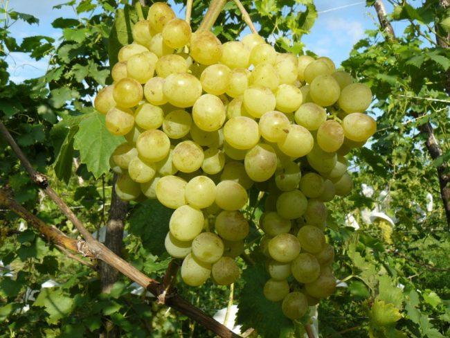 Спелая кисть винограда Восторг на лозе