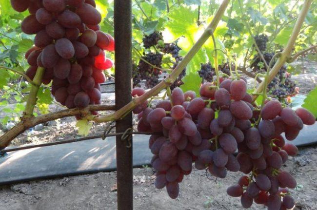 Виноградная лоза гибридной формы Малиновый Супер под нагрузкой