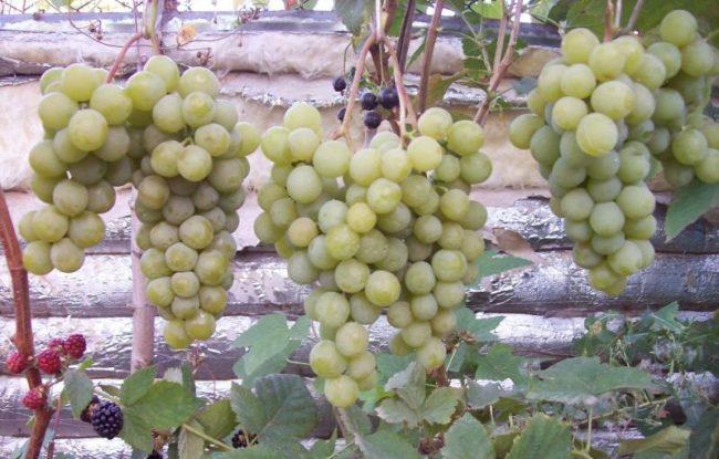 Кисти винограда гибридного сорта Дружба с ягодами желто-зеленого цвета