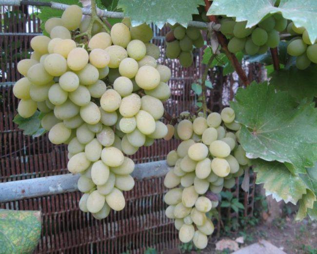Спелые кисти плодового винограда гибридной формы Августин