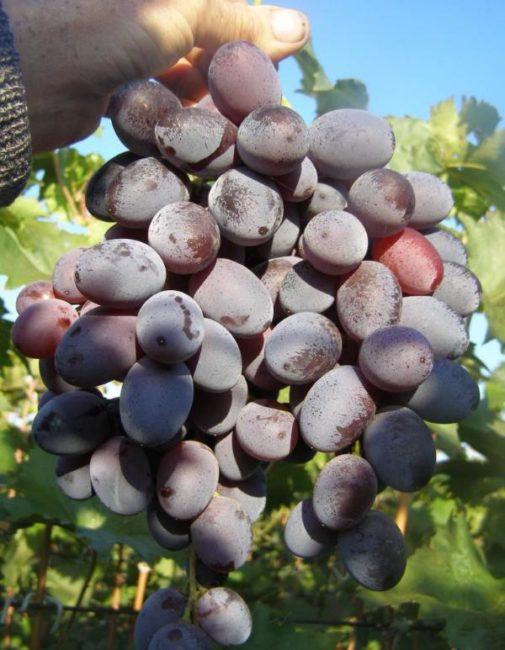 Крупная кисть столового винограда с ягодами сине-сиреневого окраса