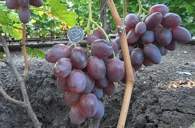 Две грозди винограда с плодами фиолетового оттенка и монетка