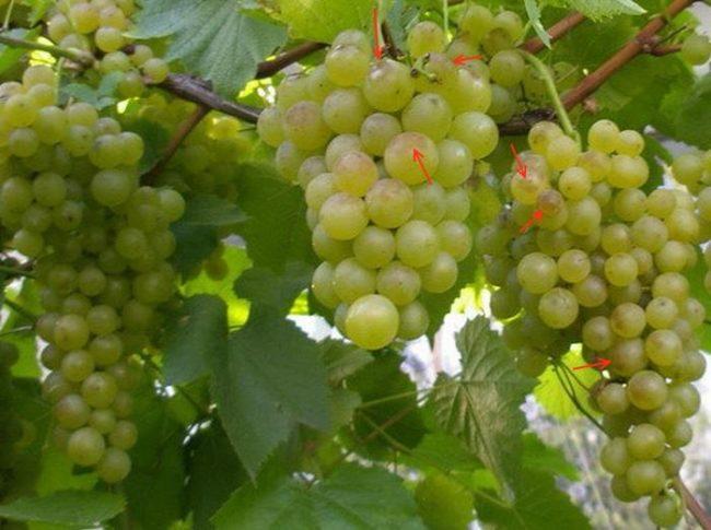 Кисти спелого винограда с ягодами, у которых повреждена кожица