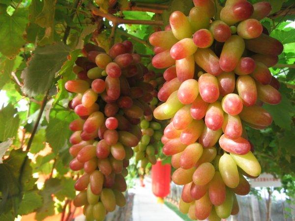 Кисти созревающего винограда с ягодами светлой окраски у основания и красными кончиками