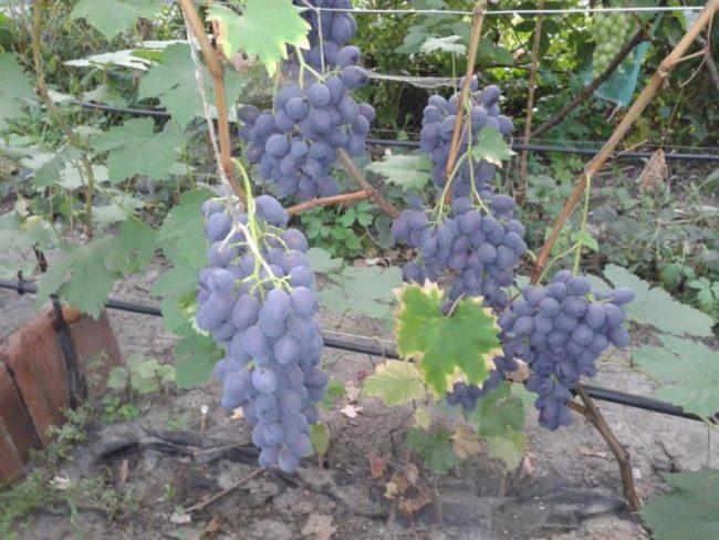 Лоза с гроздьями созревающих сиренево-синих ягод столового сорта винограда