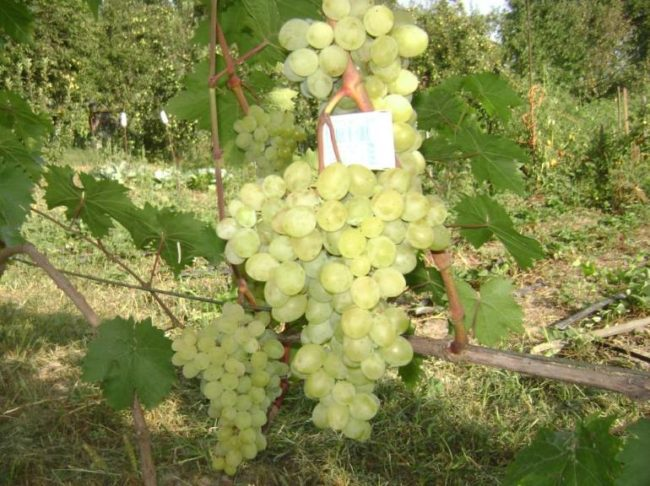 Крупные кисти винограда с золотисто-янтарными плодами и спичечный коробок