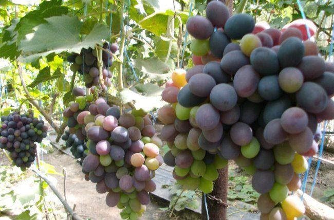 Виноградная лоза с гроздьями разноцветных ягод, начало окрашивания плодов