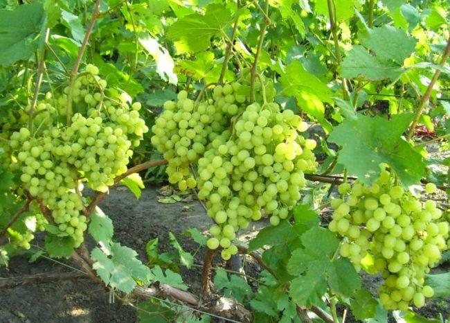 Виноградная лоза с крупными гроздьями столового винограда с янтарными плодами