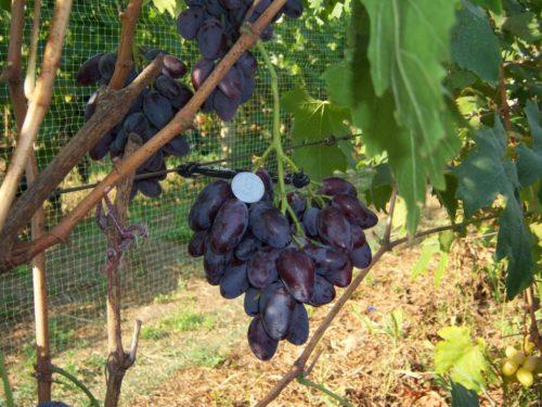 Гроздь среднего размера гибридной формы винограда Князь Трубецкой и монетка среди ягод