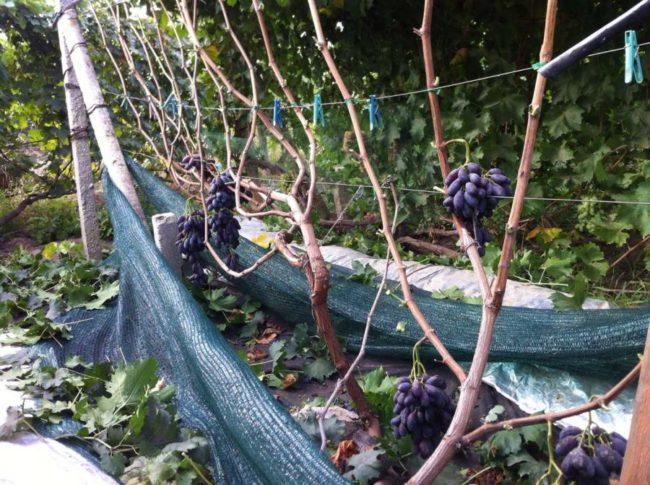 Виноградная лоза с гроздьями ягод на шпалере и капроновая сетка для защиты от дроздов