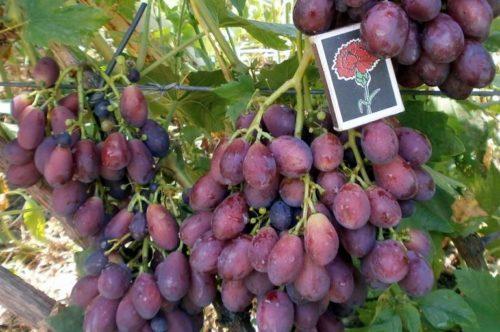 Крупные грозди красно-фиолетового винограда сорта Князь Трубецкой