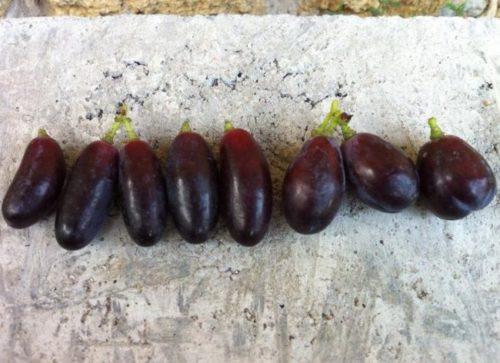 Крупные вытянутые плоды темно-фиолетового цвета сорта Князь Трубецкой