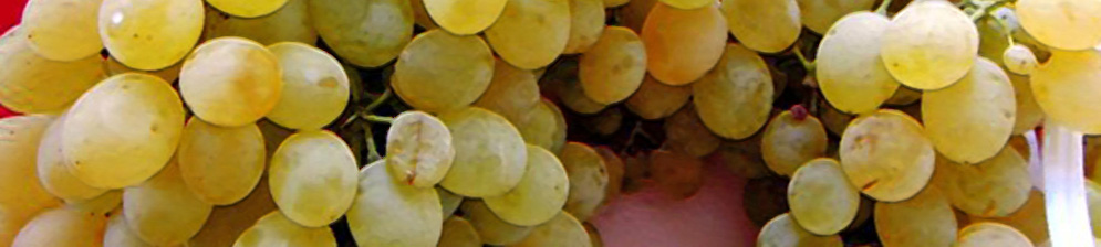 Виноград сорта Коктейль вблизи плоды