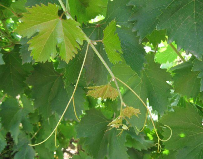 Коронка винограда сорта Галбена Ноу на фоне темно-зеленых листьев