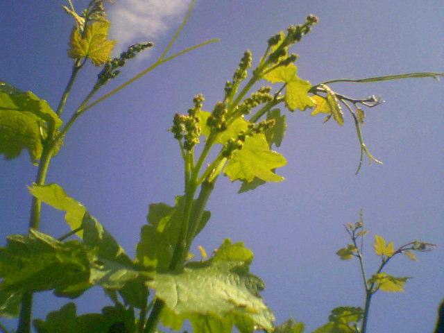 Макушки молодых зеленых побегов винограда Талисман крупным планом