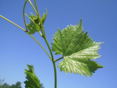 Фото коронки винограда гибридного сорта Дружба на фоне синего неба