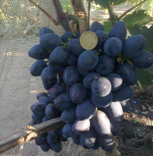 Крупная кисть гибридного винограда столового сорта Краса Балок и монетка