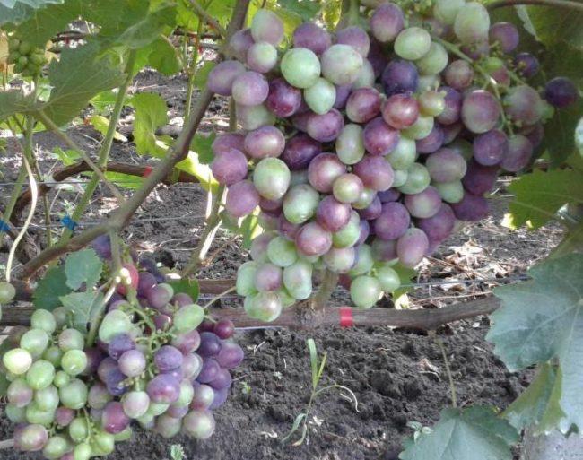 Крупные грозди гибридного винограда Краса Балок в период окрашивания плодов