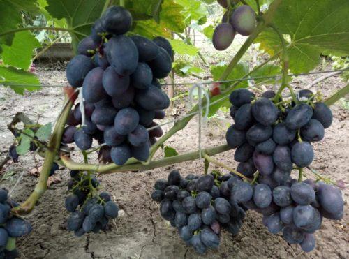 Виноградная лоза гибридной формы Краса Балок с грозди созревающих плодов