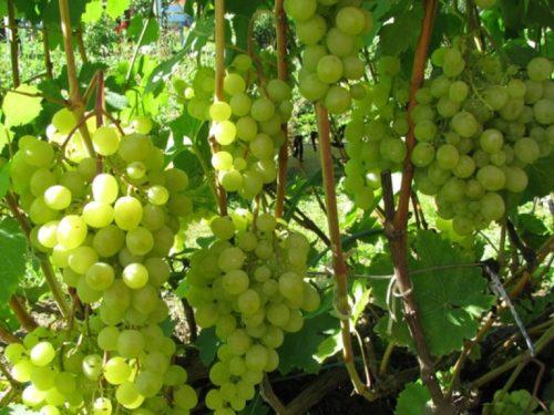 Грозди винограда морозостойкого сорта Краса Севера отечественной селекции