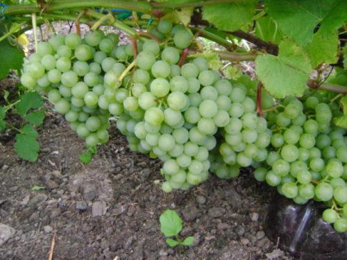 Крупные кисти гибридной формы винограда Краса Севера с плодами в стадии технической спелости