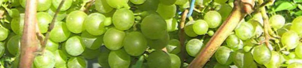 Виноград Краса Севера на кисти почти спелая гроздь