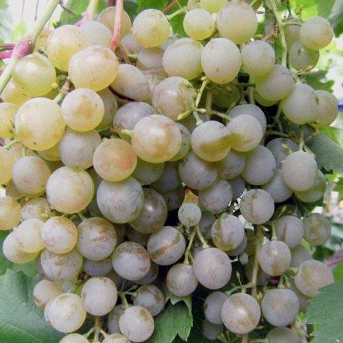 Ягода винограда гибридного сорта Краса Севера светло-зеленого цвета