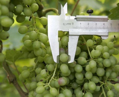 Средний размер плода винограда гибридного сорта Красень и штангенциркуль