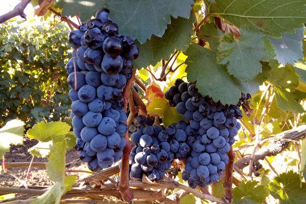 Спелые кисти винограда технического сорта Красностоп Золотовский с плодами темно-синего оттенка