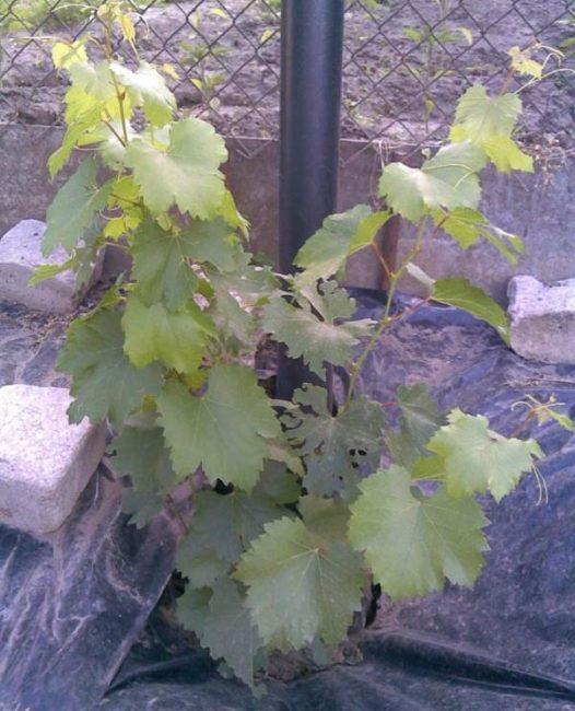 Молодой кустик винограда рядом со столбом шпалеры и черный укрывной материал на земле