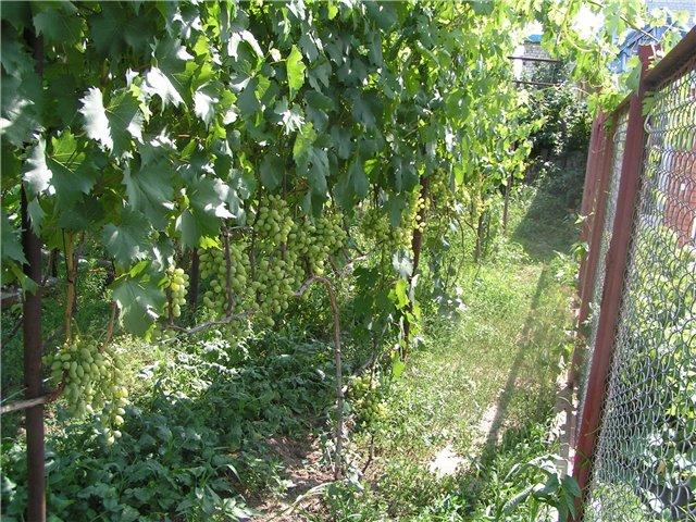 Взрослый куст винограда гибридного сорта Талисман под нагрузкой
