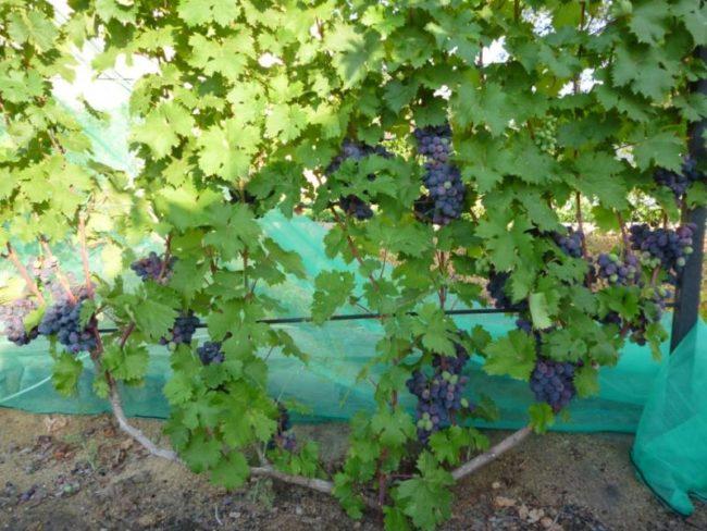 Виноградный куст с гроздьями темно-синих ягод и защитная сетка от птиц