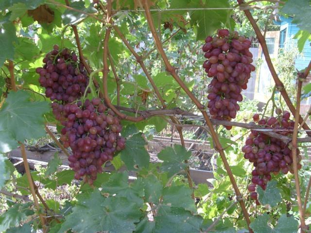 Четыре крупные грозди бессемянного винограда Лучистый на одеревеневших ветках